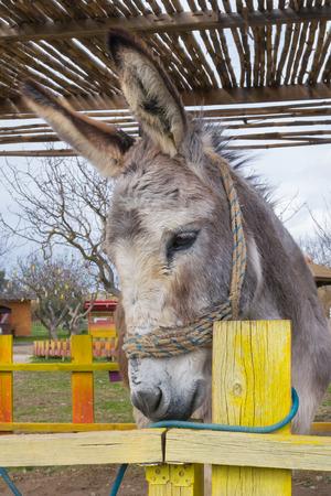 ears donkey: Close up of a cute donkey. Stock Photo