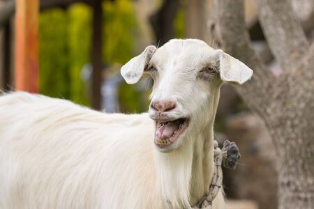 bleating: Funny goat portrait. A close up look.