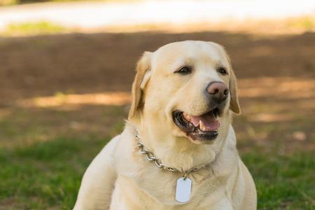 pedigreed: Pedigreed Labrador dog portrait. A close up look.
