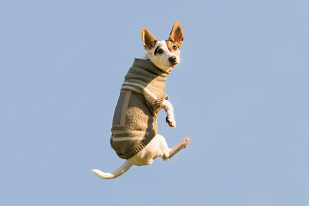 Jack Russell dog jumping up high in the air looking at the camera. A funny moment of a flying dog wearing winter clothes.