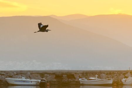 nafplio: Black heron flying against the sunset and the fishing boats at Nafplio wetland in Greece.