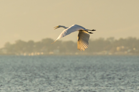nafplio: White heron flying at the wetland of Nafplio in Greece. Stock Photo
