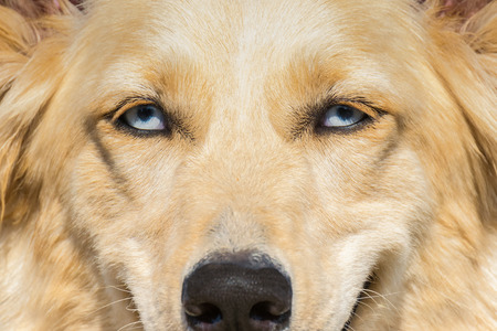 white shepherd dog: White Shepherd dog with blue eyes. A close up portrait. Stock Photo