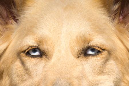 eyes close up: White Shepherd dog with blue eyes close up portrait.