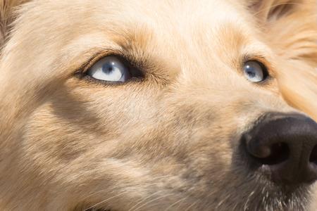white shepherd dog: White Shepherd dog blue eyes. Close up portrait.
