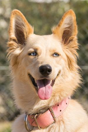 white shepherd dog: Portrait of a white shepherd dog. Stock Photo