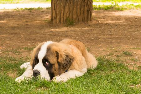 bernard: Beautiful saint Bernard dog posing at a park looking at the camera.