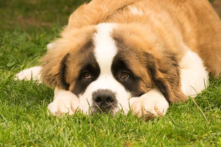 saint bernard: Saint Bernard dog puppy at a park. A cute moment.