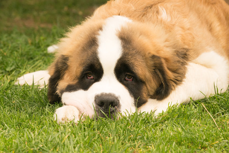bernard: Cute puppy dog Saint Bernard resting at a park.