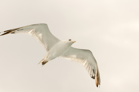 wide open: White seagull up in the air with wings wide open.