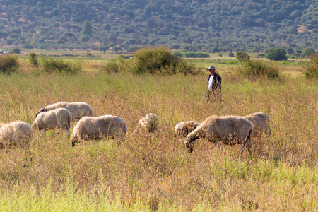Evia, Greece 22 August 2015. Shepherd and sheep out in the nature for a walk.