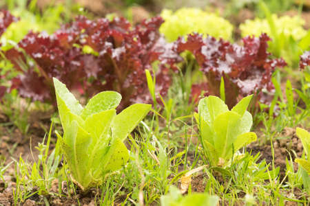 lettuces: Garden cultivated with green and purple lettuces. Stock Photo