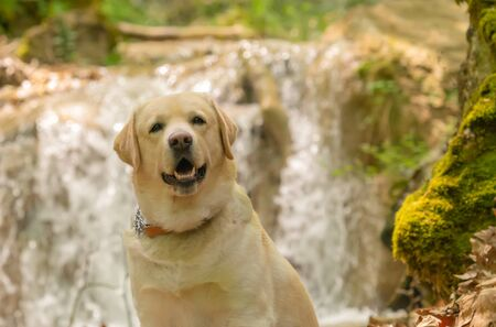 Labrador dog portrait against a waterfall.