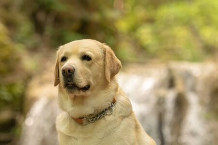 Close up of labradot dog portrait against a waterfall. 스톡 콘텐츠