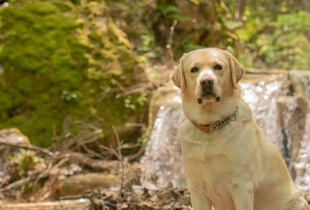 Labrador dog sitting in front of a waterfall. 스톡 콘텐츠