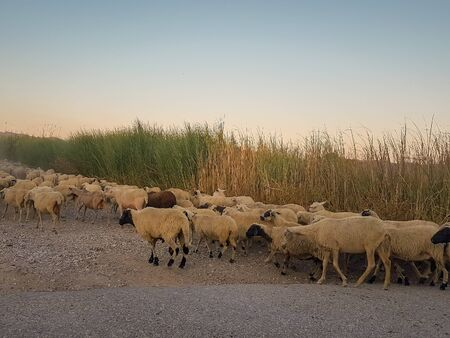 Herd of sheep trespassing a road. Stok Fotoğraf