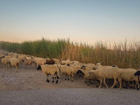 Herd of sheep trespassing a road. Zdjęcie Seryjne
