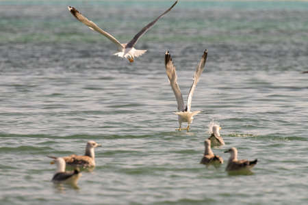 Seagulls flying over the sea searching for food at Elafonisos in Greece. 스톡 콘텐츠