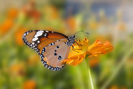 The flowers and orange butterflies. photo