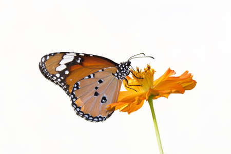 Butterfly flowers on a white background. photo