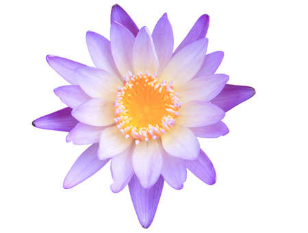 Lotus flower. Stock Photo - 11771521