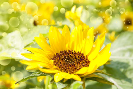 Abstract floral background with sunflower in the garden and sunlight rays with bokeh lights in the back.  photo