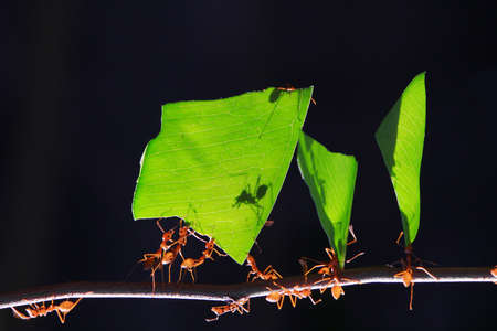 hormiga hoja: Las hormigas peque�as, que transportan la hoja delante de un fondo negro.