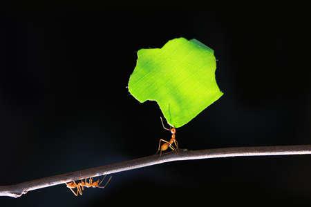 hormiga hoja: Las hormigas pequeñas, que transportan la hoja delante de un fondo negro.