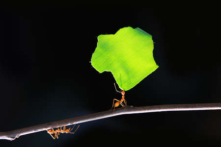 The small ants, carrying leaf in front of a black background. photo