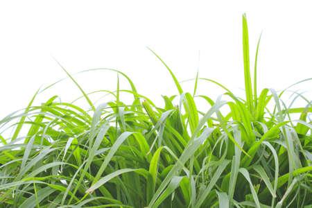 urban gardening: Grass Isolated on White