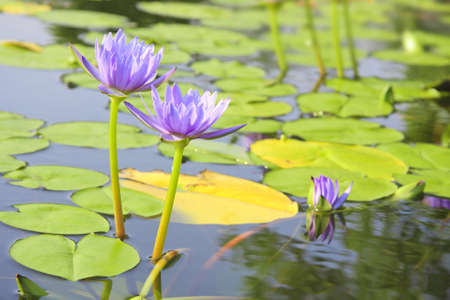 blooming lotus flower over green background  photo