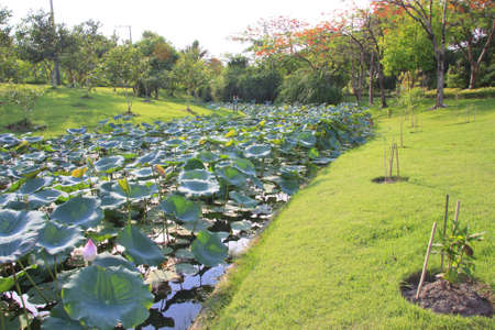 Lotus Stone Pathway in a Lush Green Park canal wate  photo