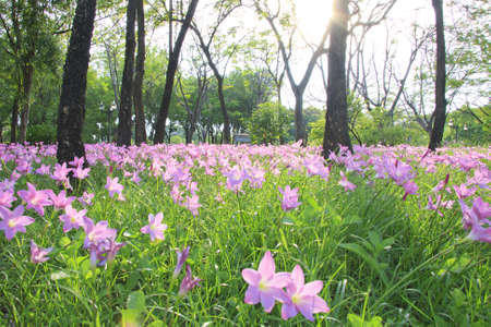 field of flowers: Light pink flowers and trees, evening