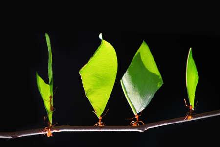 검은 배경 앞의 잎을 들고 작은 개미,