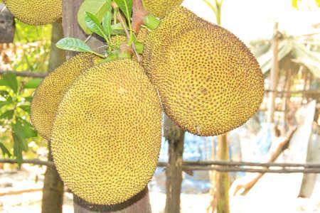Fruta tailandesa gigante de jaca Foto de archivo - 13526829