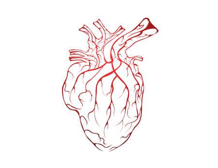 heart muscle cells: heart. Vector illustration. Illustration