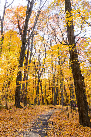 This is a walking path under a canopy of trees. This image features yellow and orange leaves during autumn. This is inside the Minnesota Landscape Arboretum.