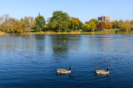 canadian geese: This is Loring Park in Minneapolis, Minnesota. This shows the pond with Canadian geese. This is in autumn. Stock Photo