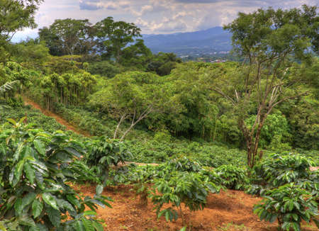 Small coffee plantation on a hillside in Costa Rica. Stock Photo