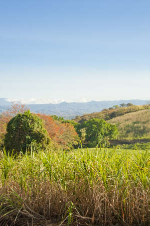 Field of mature sugar cane ready to be harvested in Costa Rica. photo