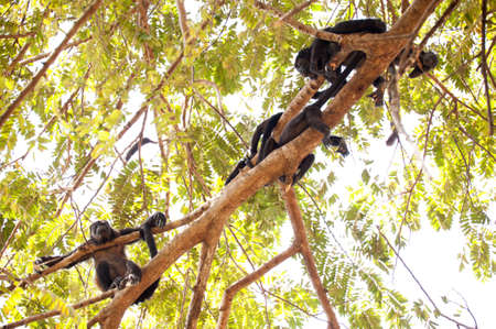 tree dweller: Family of howler monkeys resting in the canopy in Costa Rica. Stock Photo