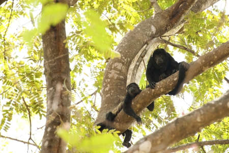 tree dweller: Pair of wild howler monkeys in a tree in Costa Rica. Stock Photo