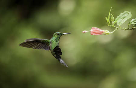 Stripe-tailed hummingbird frozen in flight while feeding.