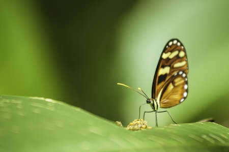 longwing: Tiger Longwing butterfly (Heliconius hecale zuleika) feeding while sitting on a leaf. Stock Photo