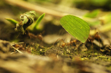 industrious: Leaf cutter ants gathering food to feed their colony.