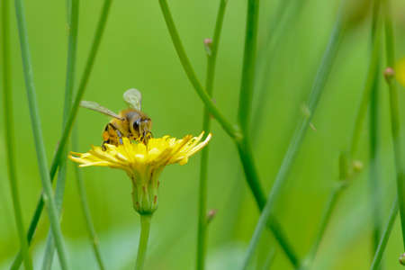hone: Single hone bee gathering nectar from a yellow flower.