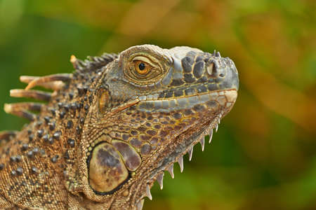 Closeup portrait of a green iguana photographed in Costa Rica. photo
