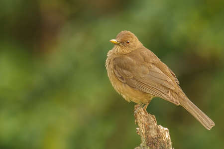 post: Clay-colored Thrush perched on a fence post.
