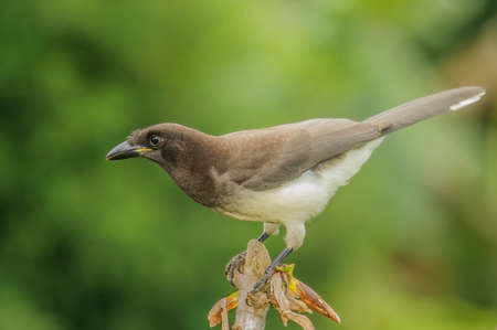 Brown Jay perched on a limb in Costa Rica. photo