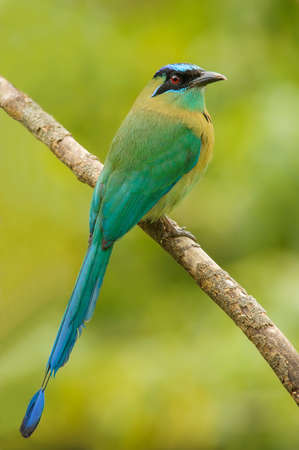 Beautiful blue-crowned motmot photographed in Costa Rica. Imagens - 34639205